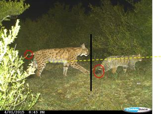 Lynx et chat sauvage, montage SD39-ONCFS